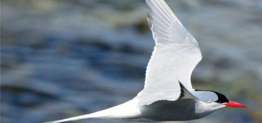 Los charranes son las aves migratorias que hacen recorridos más largos. Imagen: Thinkstock
