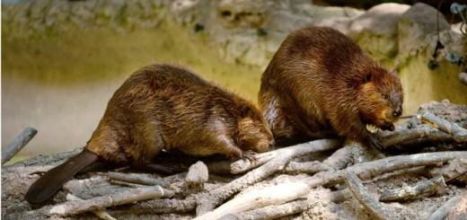 Los castores llegaron a Tierra de Fuego de América del Norte en los años 40. Imagen: GETTY IMAGES