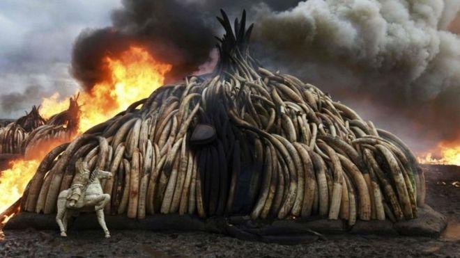 China es el mayor destino del marfil que proviene de África.. Imagen: AFP.