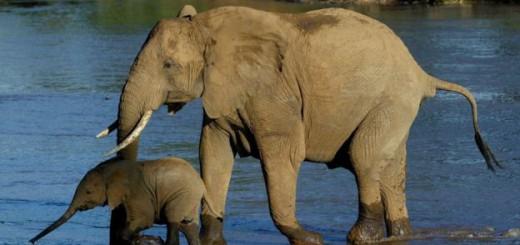 La prohibición china puede significar todo un cambio en el futuro de los elefantes. Imagen: AP