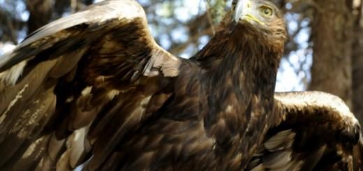 México crea el Centro Nacional de Protección del águila real, símbolo del país. EFE/PROFEPA