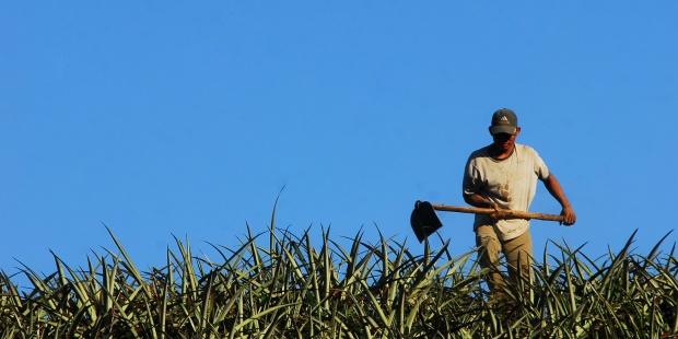 Un proyecto innovador en Costa Rica, convertir la piña en el nuevo petróleo. EFE/Mario López