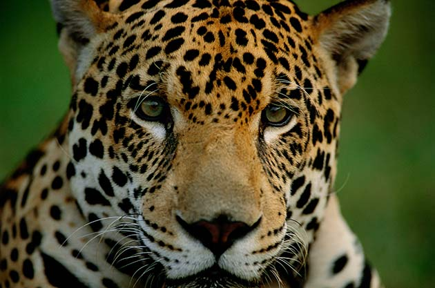 Jaguar (Panthera onca), Pantanal, Brazil.