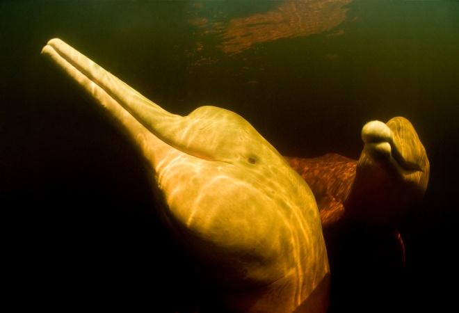 Foto: Amazon / pink river dolphin / boto (Inia geoffrensis) Rio Negro, Brazil (Amazon) wild animals underwater in tannin rich river, Threatened species (IUCN Red List)