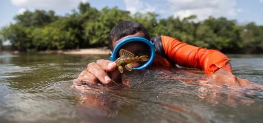VICHADA (COLOMBIA), Fotografía cedida por el Instituto Alexander Von Humboldt del pez bagre más pequ