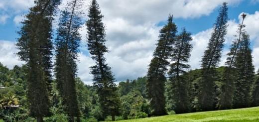 De acuerdo a los investigadores, es probable que el origen de este comportamiento en el pino de Cook esté en la genética del árbol o que se trate de una adaptación para aprovechar al máximo la luz solar en latitudes más elevadas. Los científicos señalan que hace falta más investigación para determinar la causa y creen que analizar en mayor profundidad el comportamiento de esta especie puede contribuir a descubrir los mecanismos que usan las plantas para responder a los estímulos ambientales, de los que se sabe muy poco. El estudio fue publicado en la revista Ecology. Imagen Getty Images.