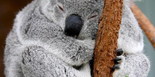 Foto de archivo de un koala, una de las especies más amenazadas. EFE/Barbara Walton