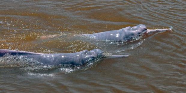 cedida de delfines rosados nadando en el Amazona.EFE/WWF