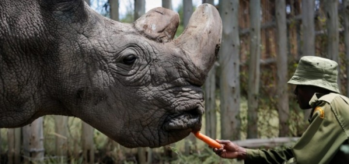 th_1cce678baa2865fe866ba90e481edd63_rinoceronte-blanco-Sudan-muerte