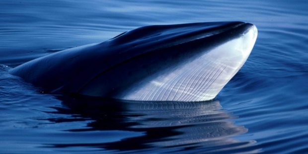 Japón se retira de la Comisión Ballenera para seguir con pesca comercial. IFAW
