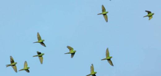 cotorras-volando-libertad